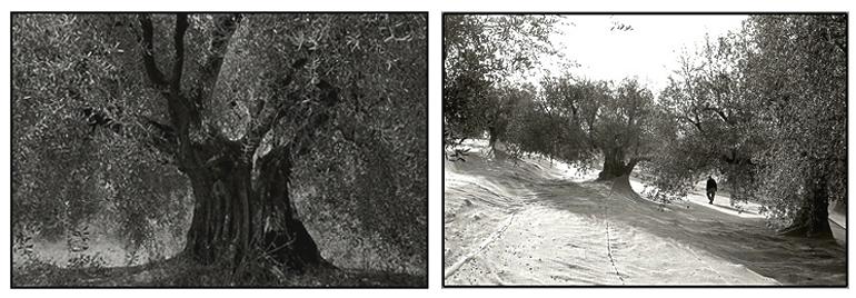 oliviers,3